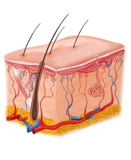 Aufbau der Haut im Querschnitt